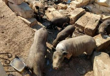 """Abandoned"" pigs to be confiscated by the authorities"
