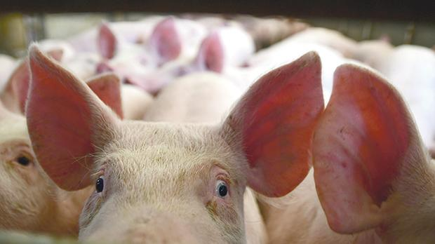 Last chance for the pig industry? The pig farmers' cooperative has a plan to protect the trade. Photo: Jonathan Borg