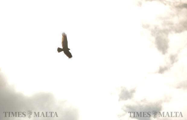 A Marsh Harrier soars above Marsaxlokk on October 19. Photo: Chris Sant Fournier