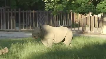 Rhexit! Black Rhino Leaves Europe For New Home
