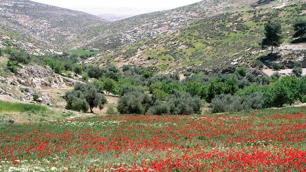 Poppies in the Hebron gradient transition zone. Photo: Oz Golan/Plantlife/PA Wire