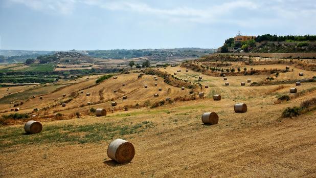 Harvest time in Dwejra. Photo: Charles Portelli