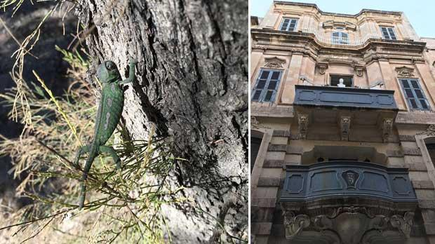 Baby chameleon at work. Right: Queen's bust on a house. Photos: David Carabott