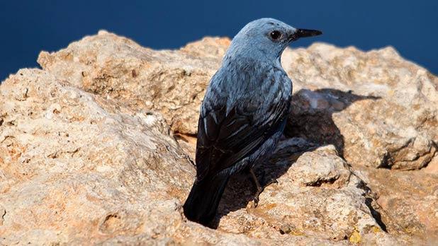 Malta's National Bird. Photo: Nyal Xuereb