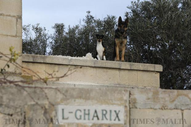 Two dogs look out from L-Gharix, the late Dom Mintoff's villa in Delimara, which is currently undergoing extensive reconstruction after the villa was sold for €250,000 last October to a Fgura businessman, on March 10. Photo: Darrin Zammit Lupi