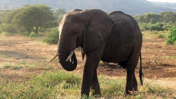 The elephant is the not-so-silent giant of the Sernegeti.