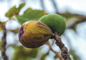 Juicy and in season. But fruits such as these figs may not be plucked from any privately owned field.