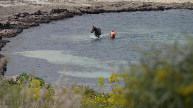 A man takes his horse for a swim in Bahar ic-Caghaq on March 15. Photo: Matthew Mirabelli