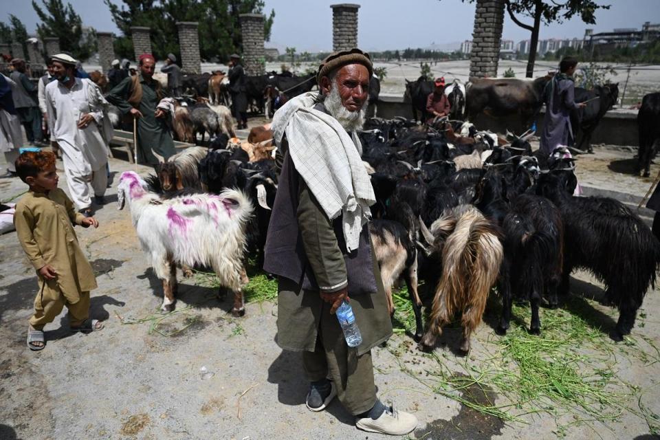 Un hombre se encuentra cerca de los animales de sacrificio para ser vendidos antes de la fiesta musulmana de Eid al-Adha a lo largo de una carretera en Kabul.