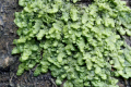 Liverwort could have medicinal benefits of cannabis THC – without the high