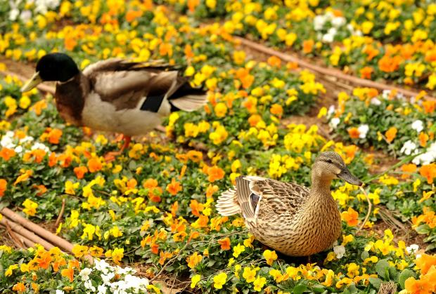 Ducks sit in a flower bed at San Anton Garden on April 11. Photo: Chris Sant Fournier