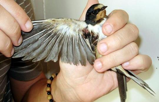 This Barn Swallow was last Monday recovered shot from Rabat and handed over to the ALE for rehabilitation. Photo: Paul Webb, BirdLife