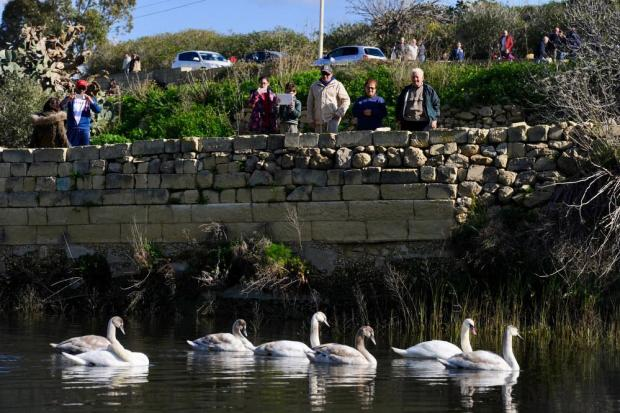 A flock of 12 Mute Swans attracted hundreds of visitors as they landed behind a dam in Marsalforn Valley, Gozo on January 3 Photo: Steve Zammit Lupi
