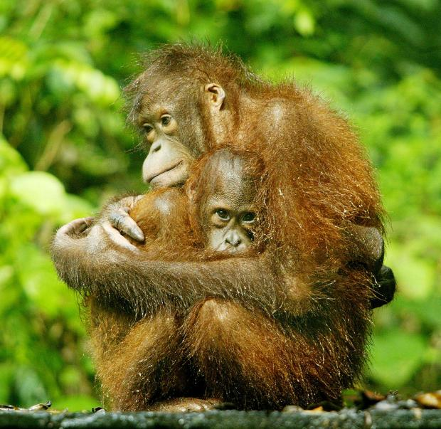 An orangutan hold its baby on Borneo island. Reuters file photo