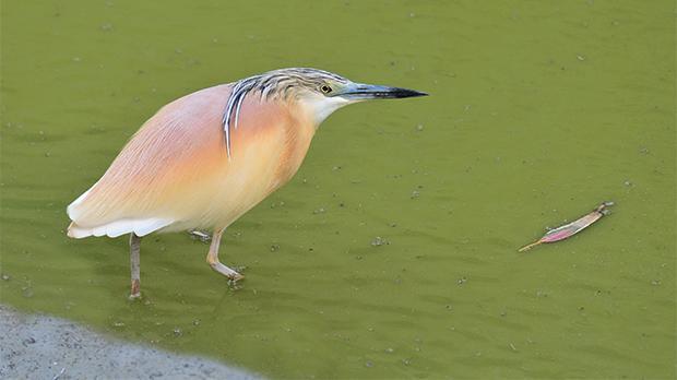 A squacco heron. Photo: Natalino Fenech