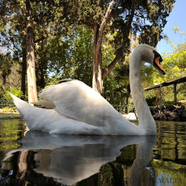 A swan graces a San Anton pond on May 22. Photo: Chris Sant Fournier