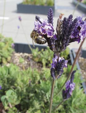 Honey bee feeding on lavender flower (Lavandula multifida).