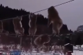 Monkeying about: Japan macaques on high-wire stroll go viral