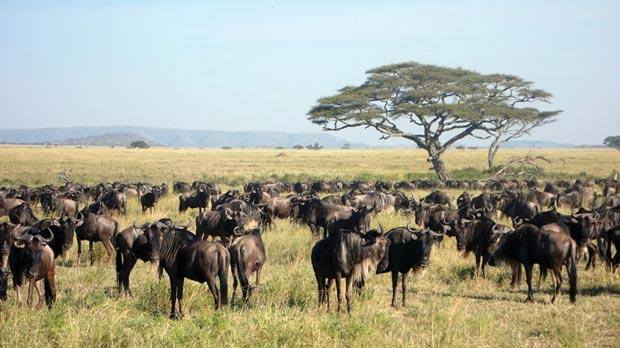 Classic scene of a herd of wildebeest. Photos: Stephen Bailey