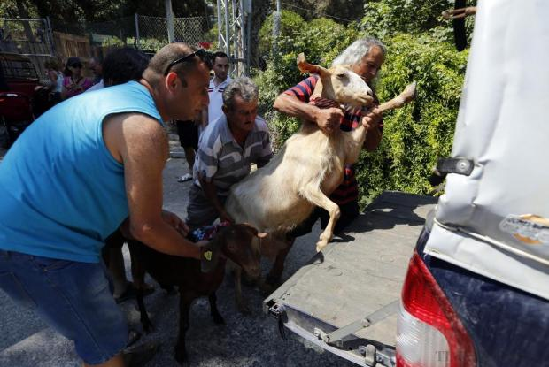 Farmers try to lift a goat into the back of a vehicle during the agricultural festival of L-Imnarja in Buskett Gardens on June 29. L-Imnarja, also known as the feast of St. Peter and St. Paul, is the most important date in the Maltese folklore diary. Photo: Darrin Zammit Lupi