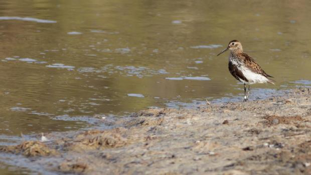 A Dunlin spotted at Għadira Nature Reserve. Photo: Aron Tanti