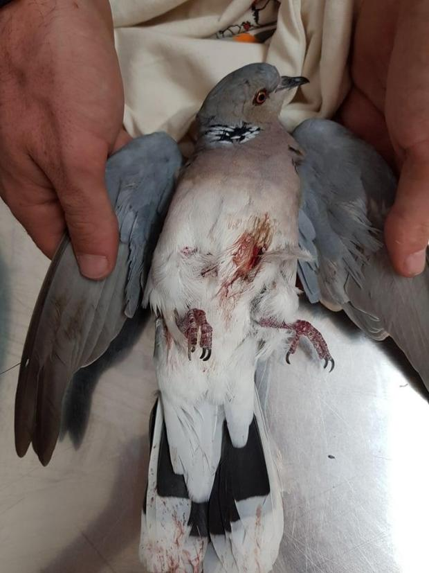 The first casualty of the season: a turtle dove. Photo: BirdLife Malta