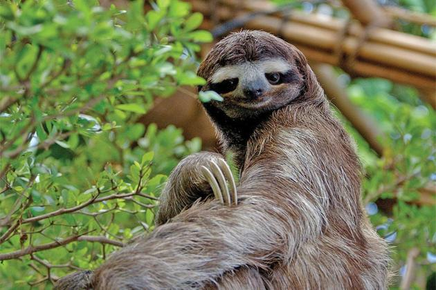 Myth debunked: Sloths are slow and therefore... lazy!