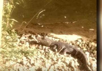 Mystery alligator captured in Virginia