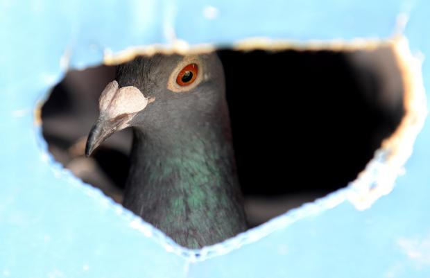 A pigeon looks out of the box he is kept in before being released at the start of the Puttinu Marathon at Marsa on May 18. Photo: Matthew Mirabelli