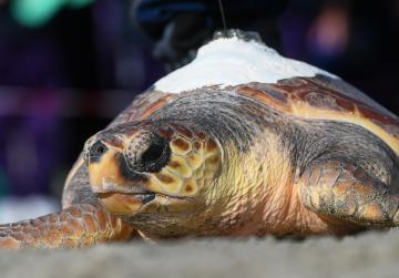 Doris the loggerhead turtle returns to the wild