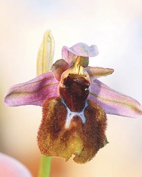 Ophrys gaulosana is characterised by pink sepals and a very small shiny patch originating from one parent (Sawfly orchid).