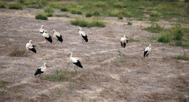 White storks, most of which bear rings from Sweden, rest in a field beneath Mdina during their migration south on October 2. Photo: Steve Zammit Lupi