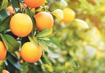 Citrus festival in Lija