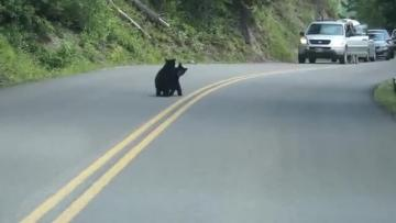 Watch: Bear cubs play in the middle of the road