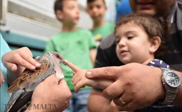A young girl reaches out to touch a turtledove in Buskett during the release of around four hundred by hunters on May 21. Photo: Mark Zammit Cordina