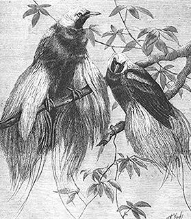 Engraving from the Illustrated London News of April 12, 1862, showing Wallace's birds, the first live Birds of Paradise to be seen in the Western Hemisphere.