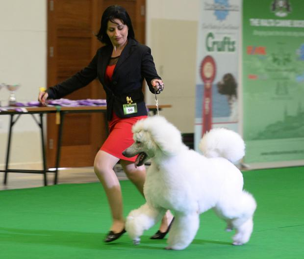 A lady runs her poodle around the arena during a dog show at St Benedict's College in Kirkop on April 8. Photo: Matthew Mirabelli