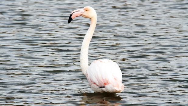 Flamingo. Photo: Nyal Xuereb