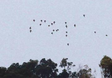 A flock of Golden Plovers over the airport on November 11, 2016. Photo: Ray Galea