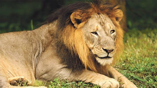 An Asiatic lion, found only in Gir National Forest in India.