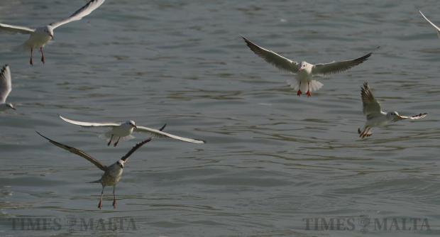 Seagulls pick up scraps of food from the water in Marsaxlokk on December 21. Photo: Matthew Mirabelli