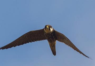 A hobby in flight over Buskett. Photo: Kevin Holmes