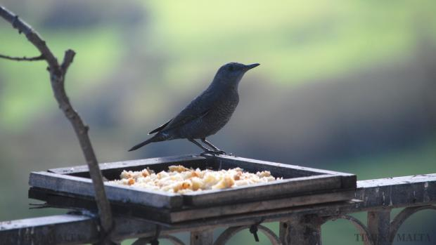 A male blue rock thrush (merill, in Maltese) the national bird of Malta stands next to a bird feeder in Xewkija, Gozo on January 21. Photo: Mark Zammit Cordina
