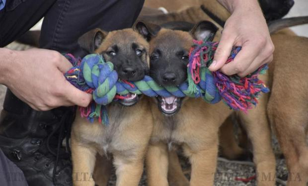 Two Belgian shepherd puppies play with a toy at the Police Dogs Section headquarters in Mosta on March 16. Seven puppies born seven weeks ago to two of the unit's established police dogs, are currently undergoing early training on their way to a career in the force. Photo: Mark Zammit Cordina