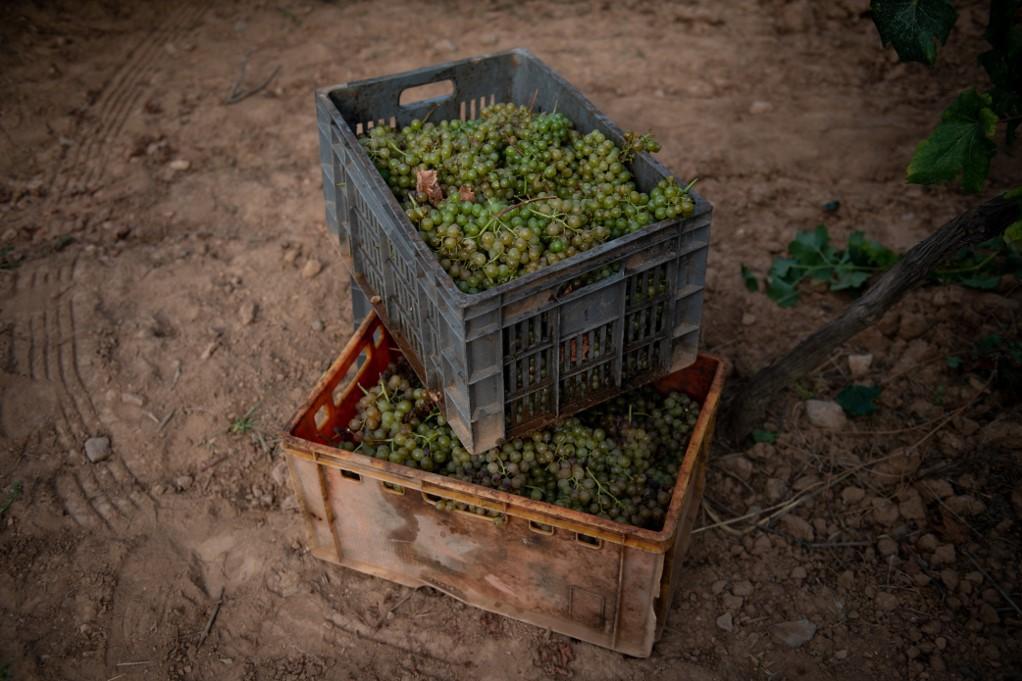 Cajas llenas de racimos de uva estarán en el suelo durante la vendimia en el viñedo Torre del Vegor en la Arena Pere de Rips.