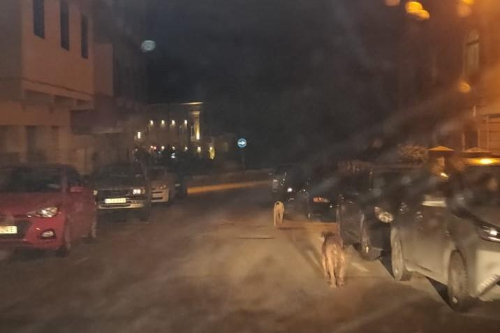 One of the stray dogs pictured early this morning. Picture: Angélique Attard
