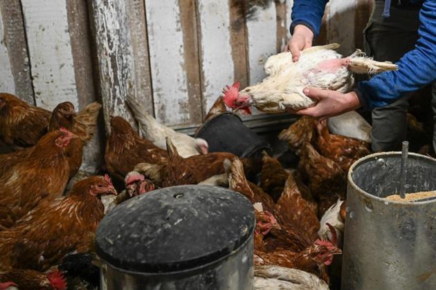 Dutch cull 190,000 chickens after bird flu outbreaks