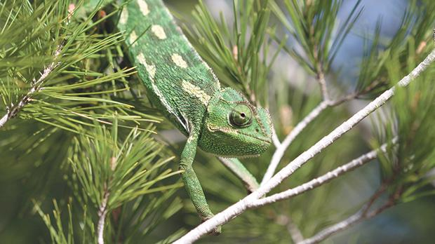 A chameleon photographed at Għadira Nature Reserve. Photo: Ray Vella
