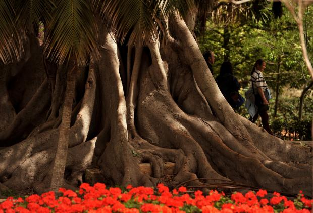 People stroll past the massive bark of a Ficus Macrophylla at the San Anton Gardens on April 11. Photo: Chris Sant Fournier