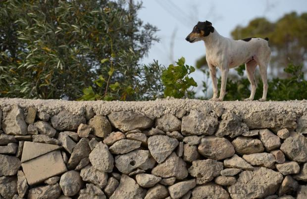A dog stands guard on a wall on the outskirts of Bahrija on June 16. Photo: Matthew Mirabelli